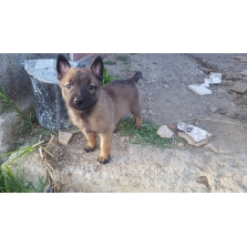 Chiots Malinois pure race